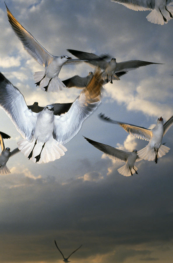 Animal Photograph - Seagulls In Flight by Natural Selection Ralph Curtin