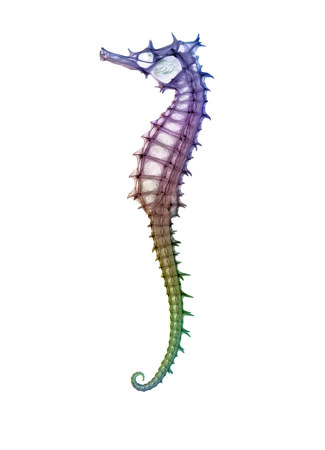 Seahorse Skeleton Photograph by D. Roberts