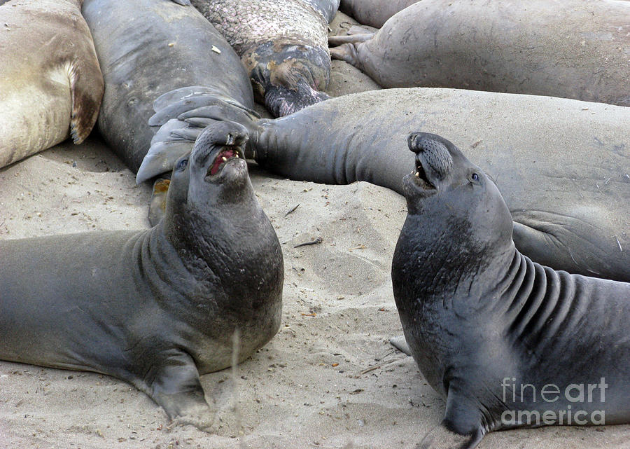 Seal Photograph - Seal Spa. Mens Talk2 by Ausra Huntington nee Paulauskaite