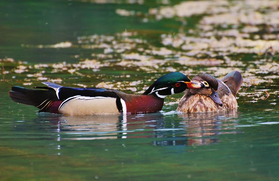 Duck Photograph - Sealed With A Kiss by Charles Covington