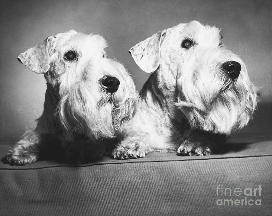Animal Photograph - Sealyham Terriers by M E Browning and Photo Researchers