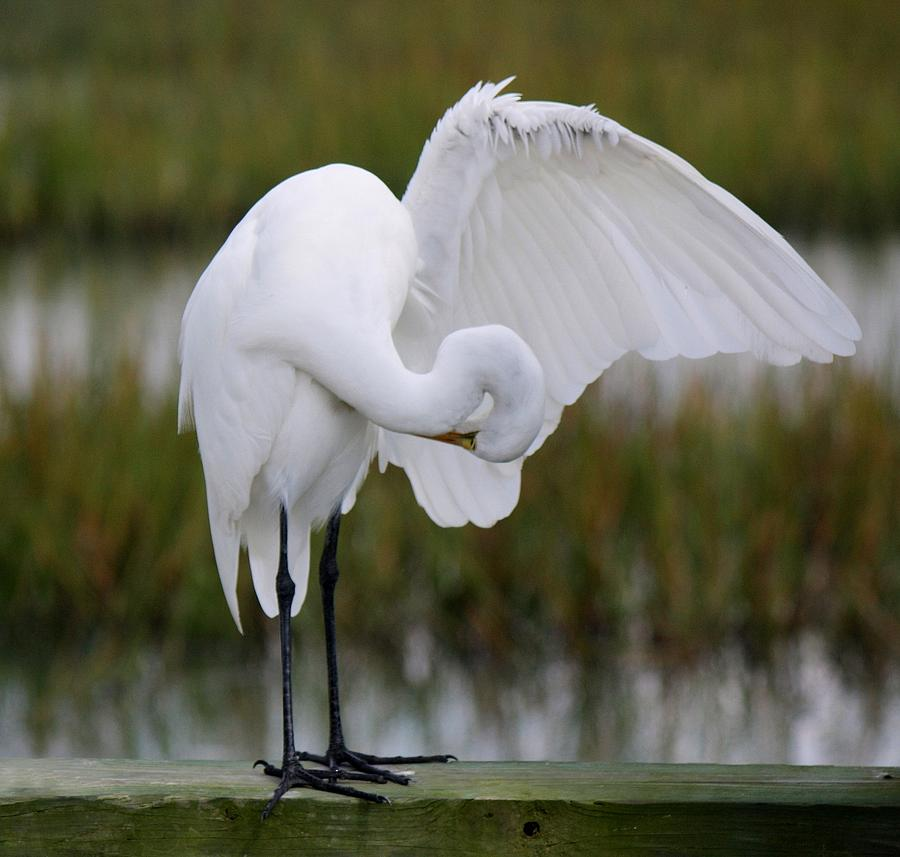 Great White Egret Photograph - Searching by Paulette Thomas