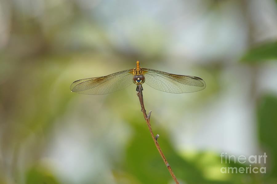 Dragonfly Photograph - Seaside Dragonlet by Lynda Dawson-Youngclaus