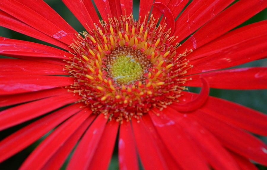 Red Gerbera Daisy Photograph - Season Of Love... by Tanya Tanski