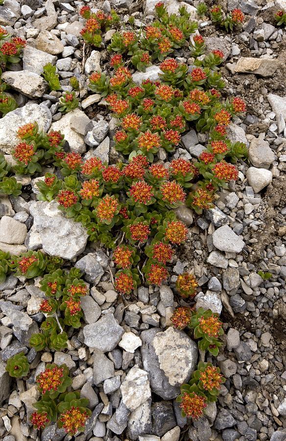 Roseroot Photograph - Sedum Integrifolium Syn Sedum Roseum by Bob Gibbons