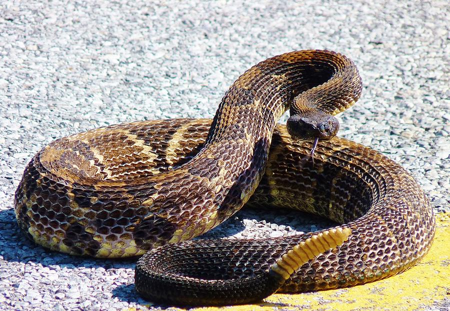 Snake Photograph - See My Rattles by Jeanette Oberholtzer