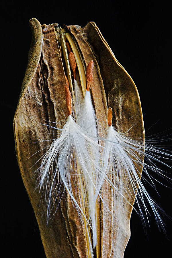 Seed Pod-3- St Lucia by Chester Williams