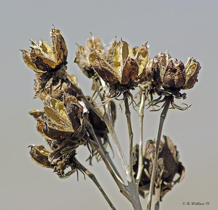 2d Photograph - Seed Pods by Brian Wallace