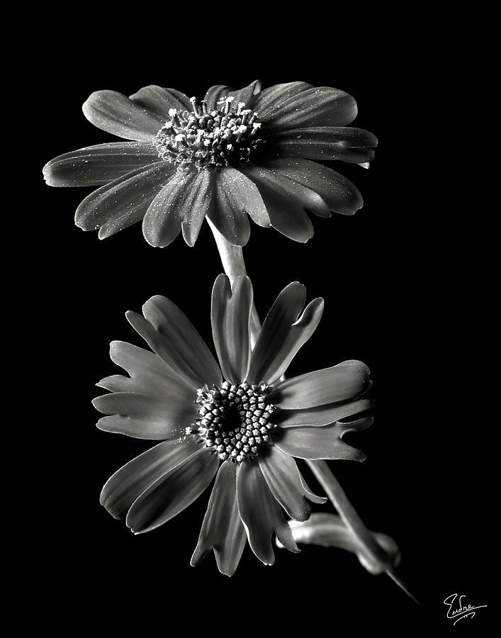 Senecio Stellata In Black And White Photograph By Endre Balogh