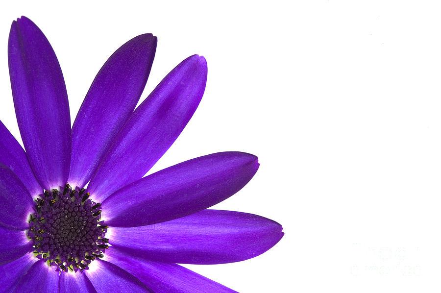 Flower Photograph - Senetti Deep Blue by Richard Thomas