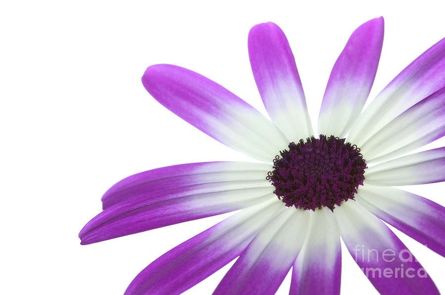 Flower Photograph - Senetti Magenta Bi-color Lower Right by Richard Thomas