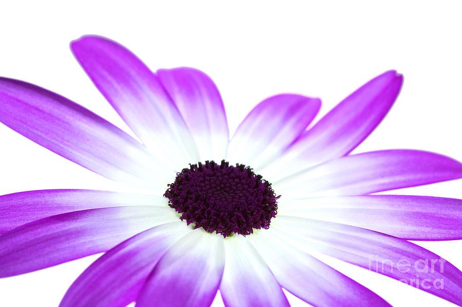 Flower Photograph - Senetti Magenta Bi-colour by Richard Thomas