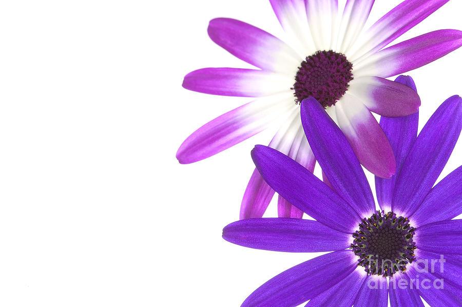 Flower Photograph - Senettis  by Richard Thomas