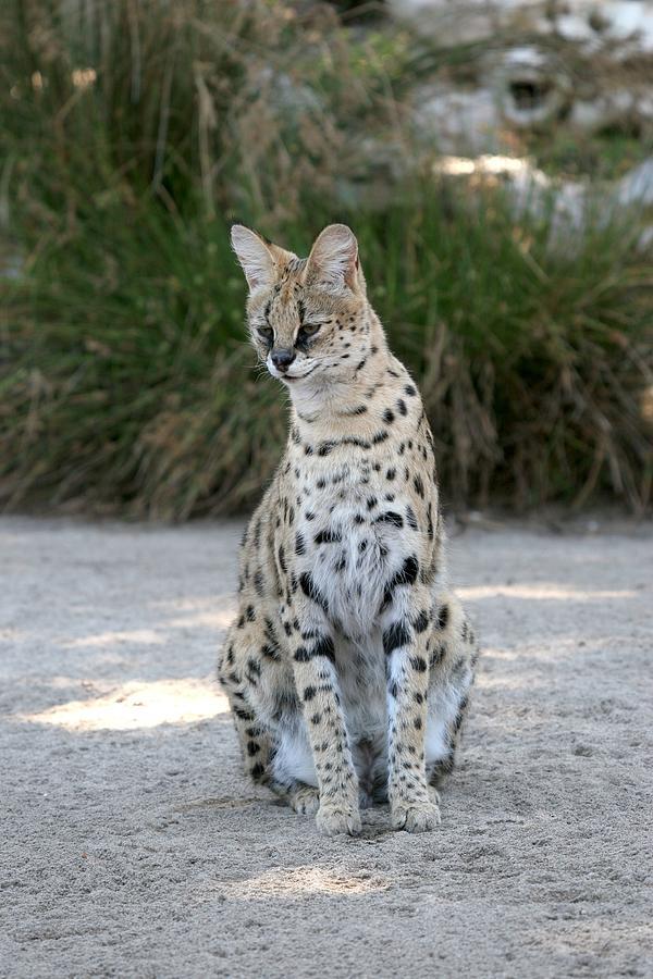 Serval Cat Photograph