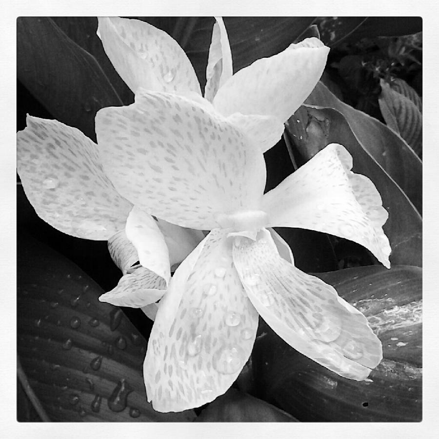 Flowers Photograph - Shades Of Grey by Chasity Johnson