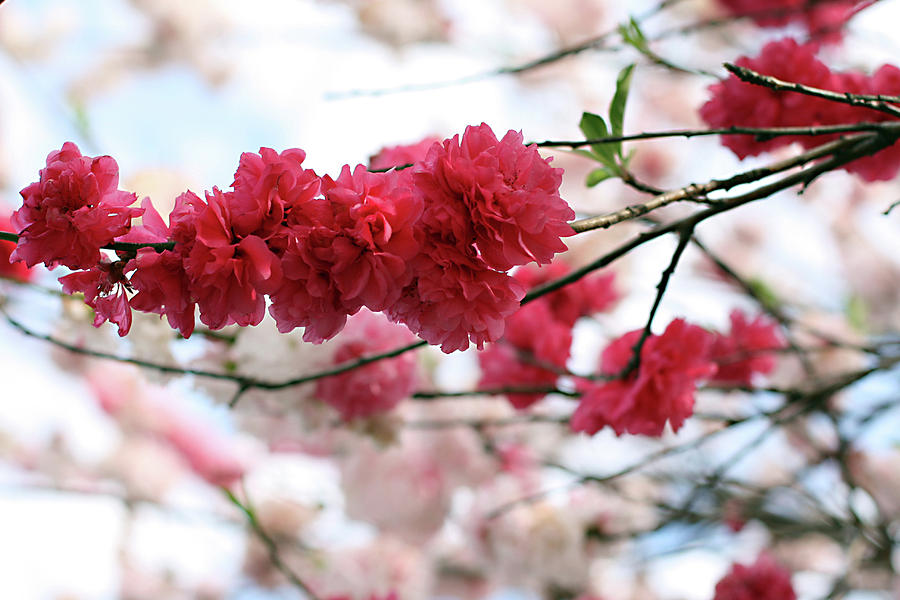 Horizontal Photograph - Shades Of Pink Blossom by photo by Marcia Luly