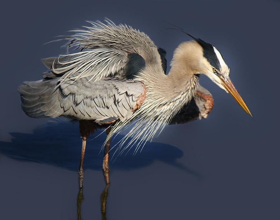 Great Blue Heron Photograph - Shaking Out My Tail Feathers by Paulette Thomas