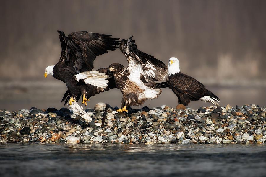 Bald Eagles Photograph - Shall We Dance by Yoshiki Nakamura