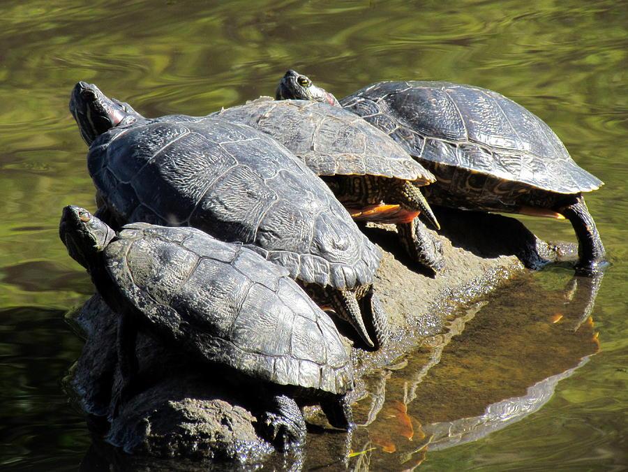Turtles Photograph - Sharing A Rock by Eva Kondzialkiewicz