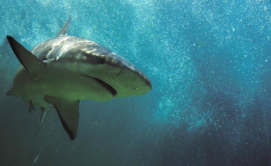 Danger Photograph - Shark Attack by Carl Purcell