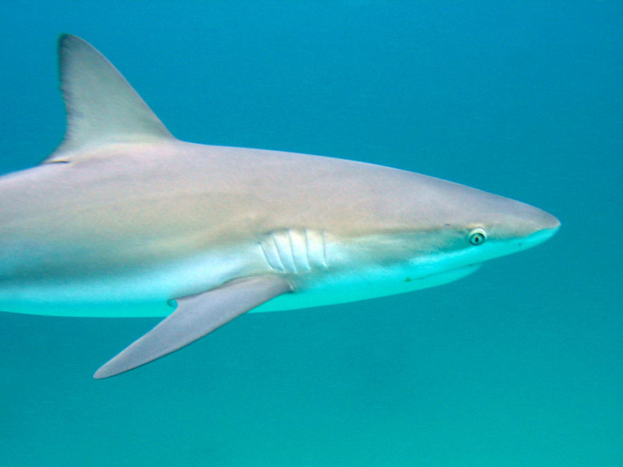Underwater Photograph - Shark Profile by Ted Papoulas