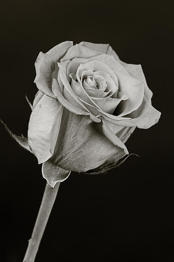 Rose Photograph - Sharp Rose Black And White by M K  Miller