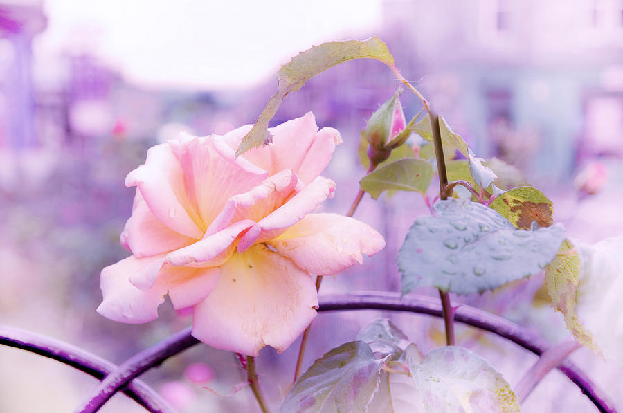 Nature Photograph - She Like The Ghost Beside Me. Scottish Rose by Jenny Rainbow