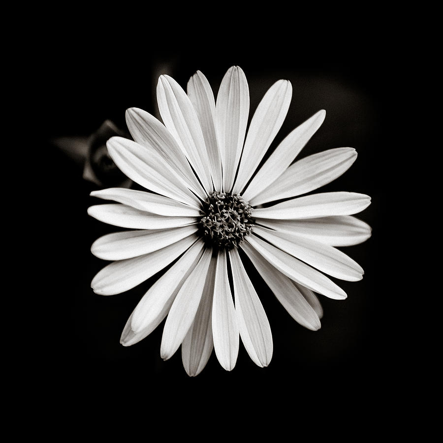 Daisy Photograph - She Loves Me Not by Anthony Rego