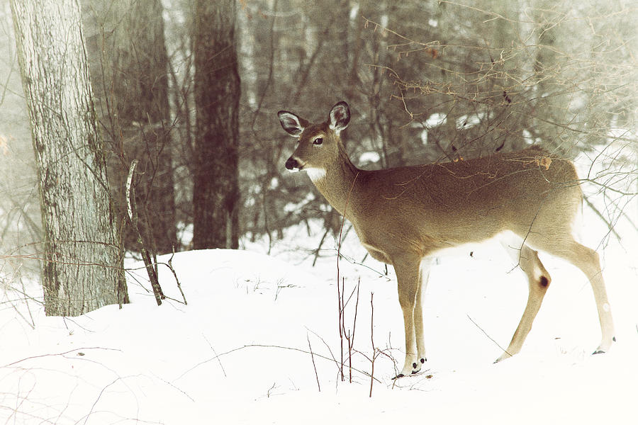 Deer Photograph - She Sees You by Karol Livote
