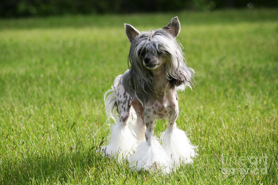 Chinese Crested Photograph - Sheeba A Chinese Crested Dog by Renae Crevalle