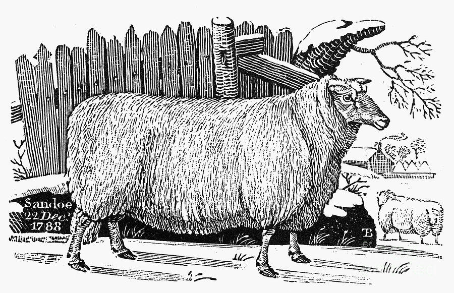 1788 Photograph - Sheep, 1788 by Granger