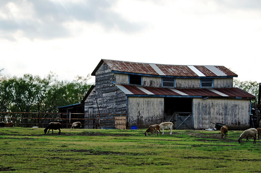Barns Photograph - Sheep Barn by Lisa Moore