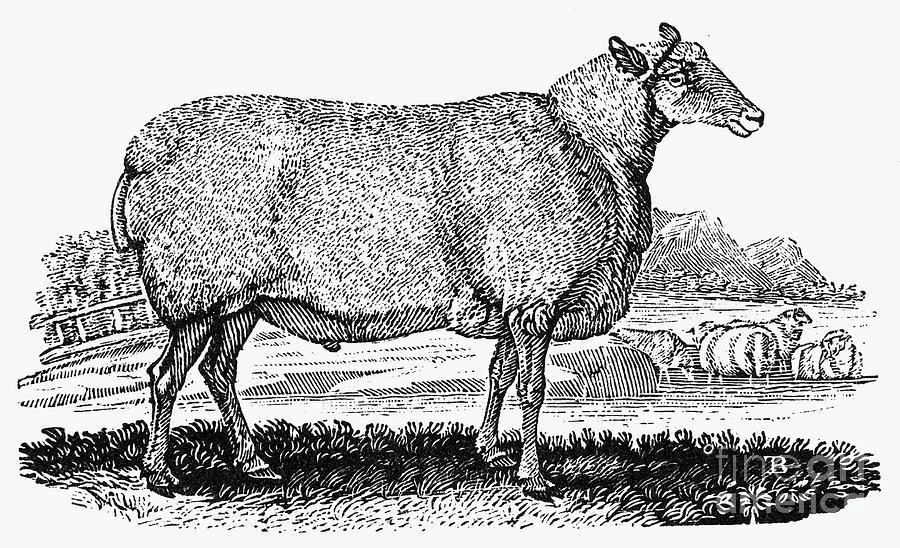 1800 Photograph - Sheep, C1800 by Granger