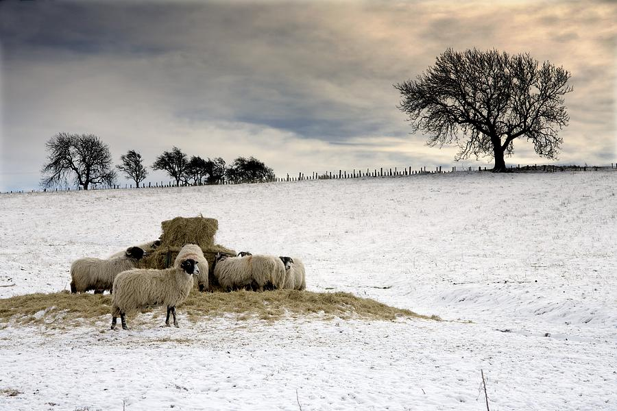 Fields Photograph - Sheep In Field Of Snow, Northumberland by John Short