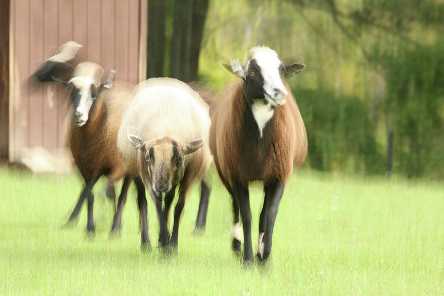 Sheep Photograph - Sheep On The Run by Karol Livote