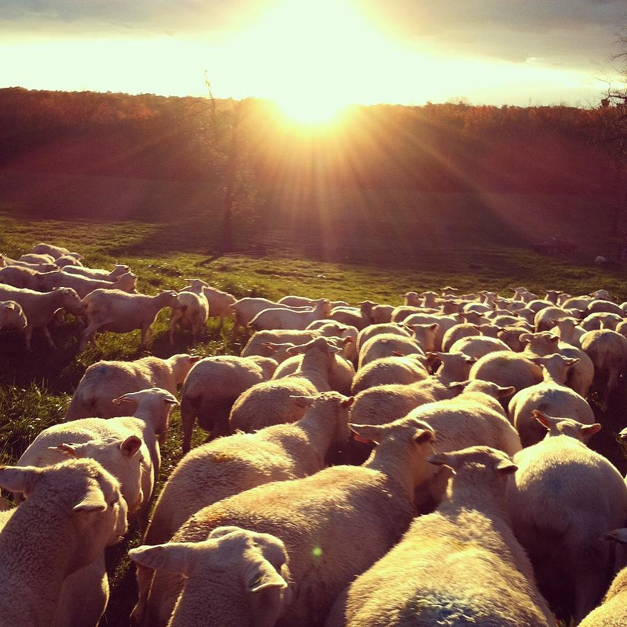 Image result for sun sheep