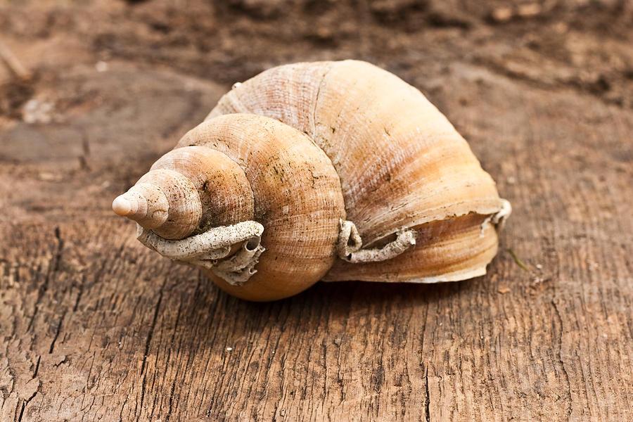 Aquatic Photograph - Shell by Tom Gowanlock