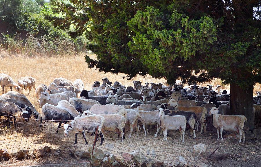 Sheep Photograph - Sheltering Flock by Paul Cowan