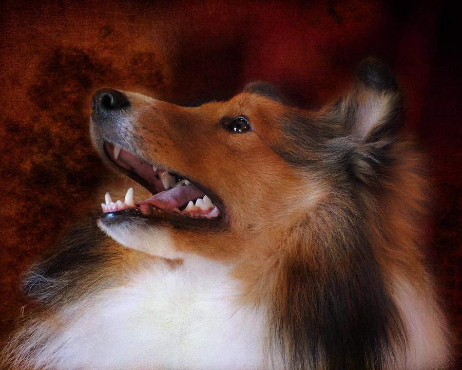 Animal Photograph - Sheltie II by Jai Johnson