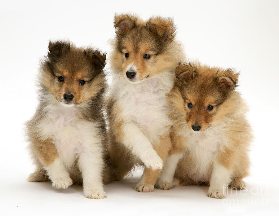 Animal Photograph - Sheltie Puppies by Jane Burton