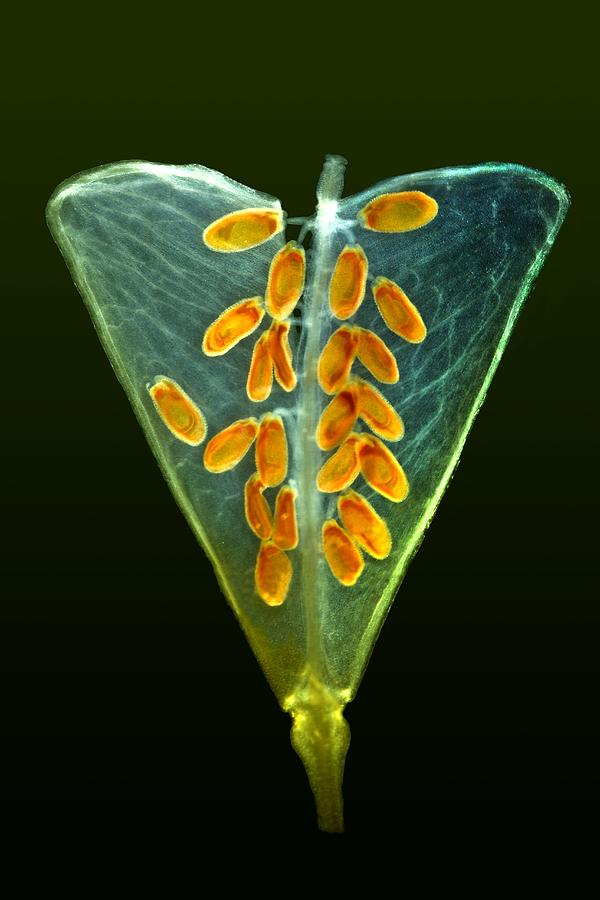 Plant Photograph - Shepherds Purse Fruit, Light Micrograph by Dr Keith Wheeler