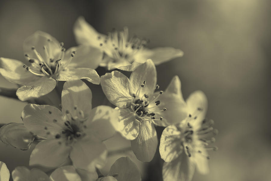 Callery Photograph - Shimmering Callery Pear Blossoms by Kathy Clark
