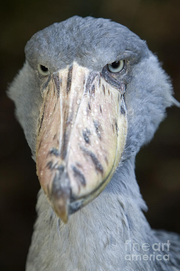 Shoe Billed Stork Balaeniceps Rex Photograph By Tim Laman
