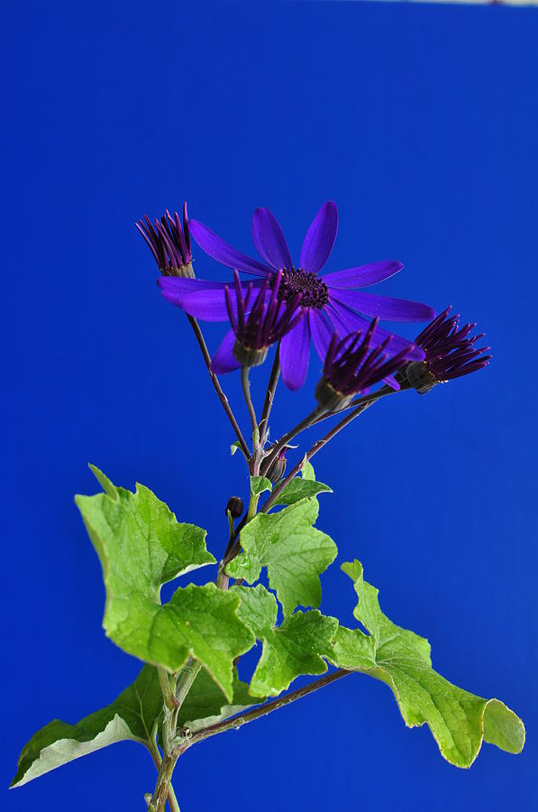 Floral Photograph - Shooting Stars by Pepper Link