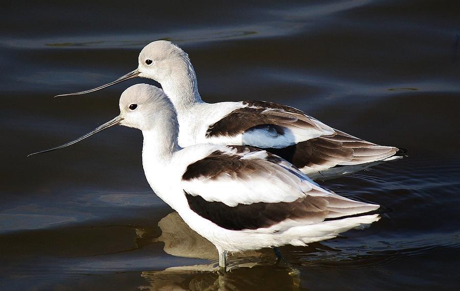 Avocets Photograph - Shore Birds by Paulette Thomas