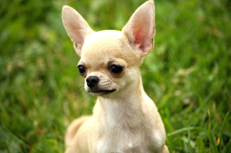 short coat chihuahua short coat chihuahua photograph by ernestas papinigis 7398