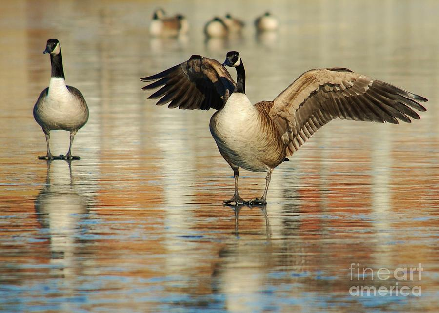 Goose Photograph - Show Off by Joy Bradley