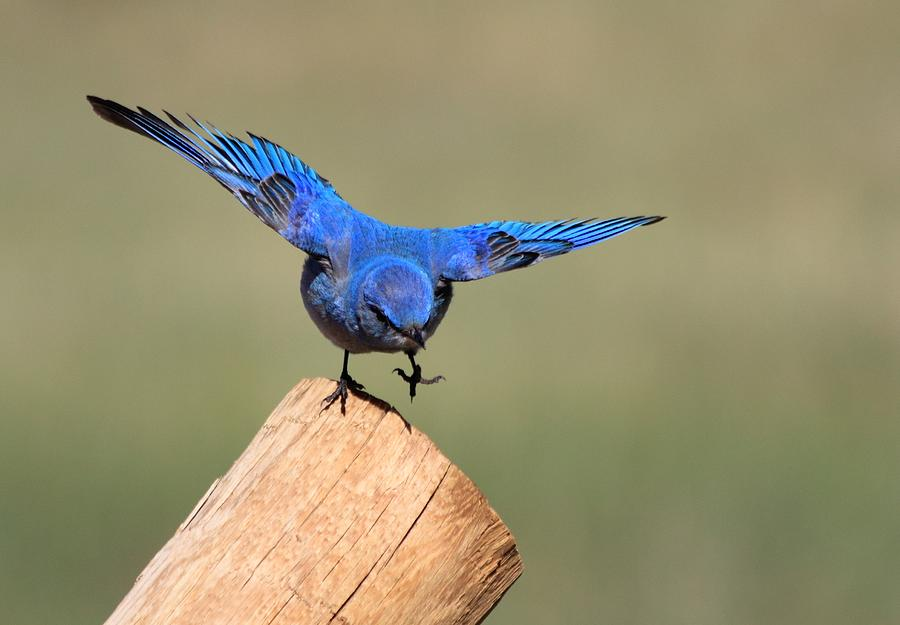 Blue Bird Photograph - Showing Off by Shane Bechler