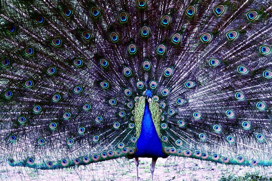 Peacock Photograph - Showoff by Eric Chapman