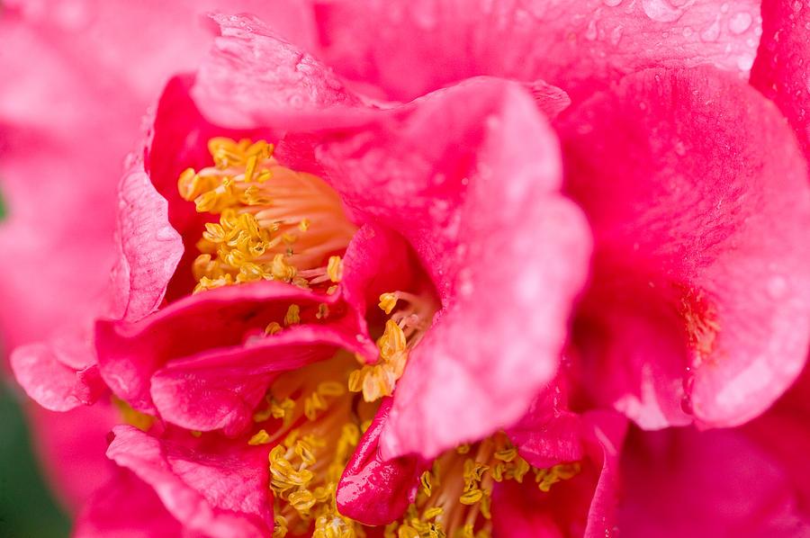 Camellia Photograph - Shy Camellia by Rich Franco